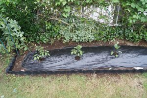 夏野菜苗の植え付け